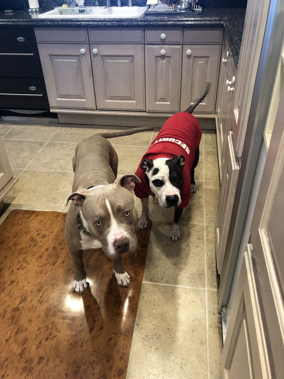 This is Lou and Bully.Lou is the brown Pittie in the front that I fostered for a few weeks. We got him neutered and vaccinated and found him a loving forever home. Bully is my Pittie, wearing the red hoodie. He has been the best dog any woman could ever ask for.