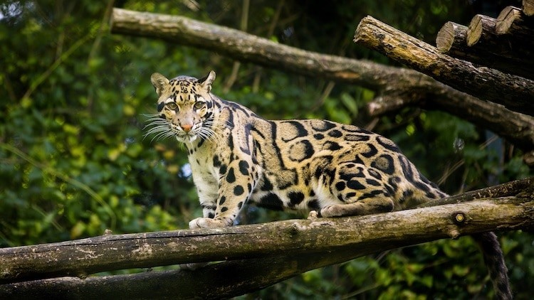 """Formosan Clouded Leopard declared extinct in 2013 having not been literally """"spotted"""" in the wild since the 1980's has seemingly reappeared with locals in Taiwan reporting sightings of this sacred cat.#WildWednesday #BIGCatLife #TheMoreYouKnowhttps://mymodernmet.com/formosan-clouded-leopard-extinct/"""