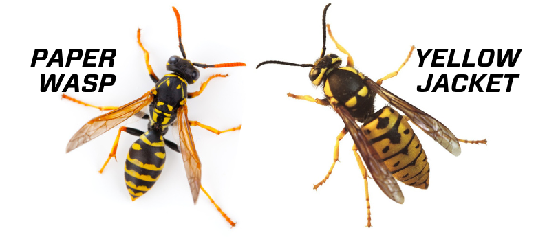 Good morning I got a lesson in wasp vs yellow jacket identification this morning as I was stung by a European paper Wasp. #TinyAnimalTuesday More info on treatment of such stings in the comments.