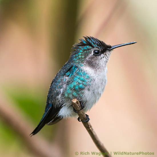 The Bee Hummingbird ❤️#tinyanimaltuesday