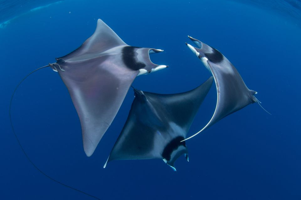 some Giant Devil Rays for ya on this october fishy friday ~