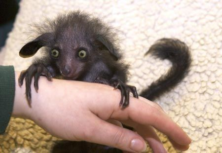 The Aye-Aye was first thought to be a rodent but scientist have determined it is actually a nocturnal lemur. The aye-ayes are found in Madagascar. #WildWednesday#TheMoreYouKnow