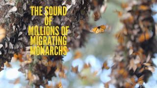 The SOUND of Millions of Monarch Butterflies!