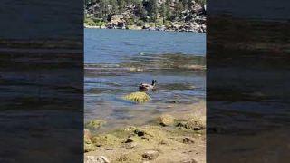Big Bear Duck
